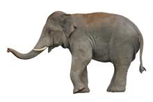 Asian Elephant Isolated On Whi...