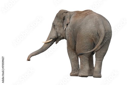 Foto op Aluminium Olifant Asian Elephant isolated on white background