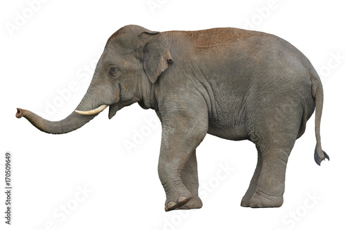 Poster de jardin Elephant Asian Elephant isolated on white background