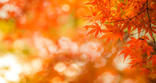 Autumn Leaves, Very Shallow Fo...