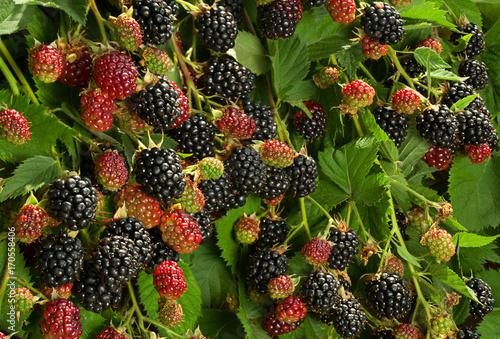 Blackberry fruit in garden