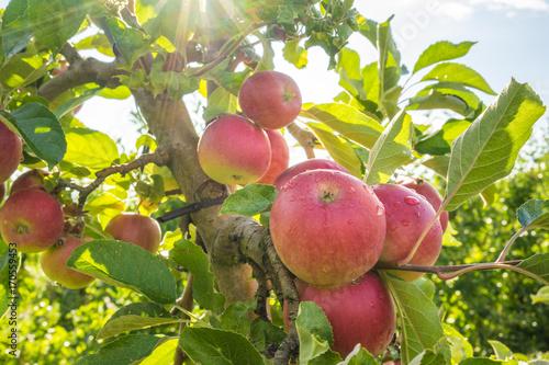Photo Rote, reife Äpfel am Apfelbaum