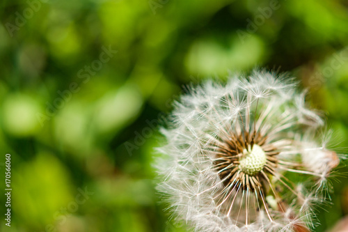 Fototapety, obrazy: A single dandelion with some seeds blown away on green background in late summer