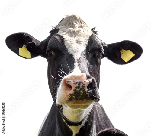 Photo Stands Cow portrait of a cow on a white background
