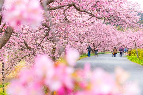 Fotografie, Obraz  Kawazu Sakura, Cherry Blosson, Spring of Izu, Japan