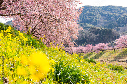 Kawazu Sakura, Cherry Blosson, Spring of Izu, Japan