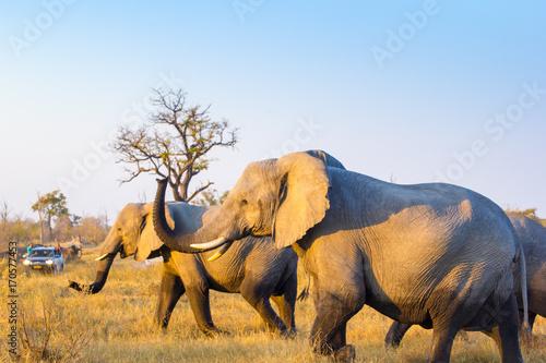 Wild elephants, Okavango Delta, Botswana Wallpaper Mural