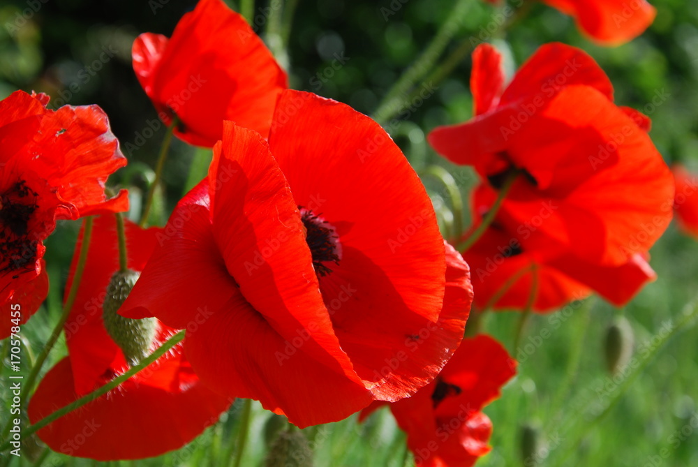 Fototapety, obrazy: Red Poppies