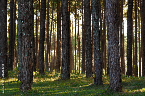 Staande foto Berkbosje Coniferous forest show pine trees background