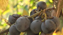 Insects On Grapes Detail Macro Bee Hornet Farm Wine Fruit Red Harvest Sweet