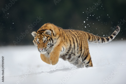 In de dag Tijger Tiger jumping on snow