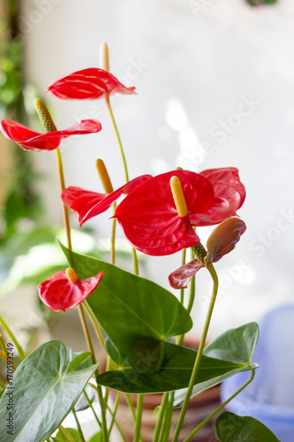 Photo Red anthurium flowers