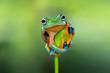 Tree frog, flying frog