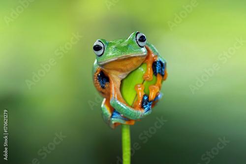 Fototapeta premium Rzekotka, latająca żaba