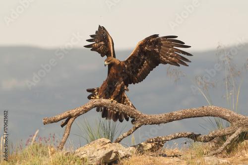 Poster Aigle Golden eagle on the mountains