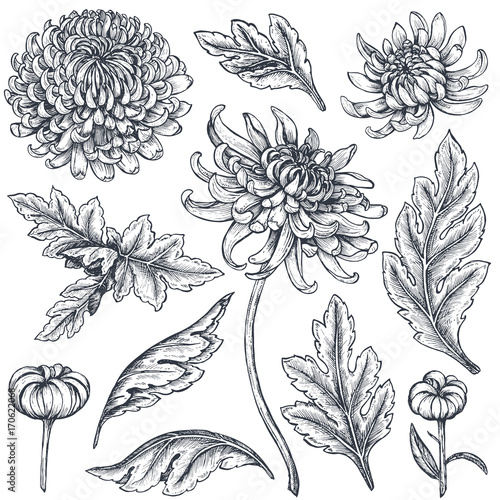 Photo Set of hand drawn chrysanthemum flowers