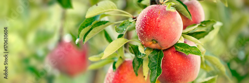Garden Poster Fruits Apple tree with red apples