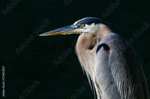 Fotografia, Obraz A horizontal closeup photo of a blue, grey, white and yellow heron with a nearly