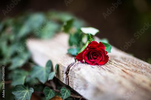 czerwona-roza