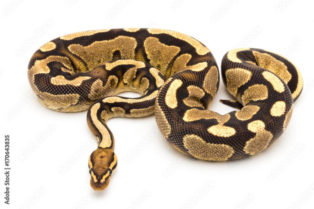 Ball Python Schlange Reptil Foto, Poster, Wandbilder bei EuroPosters