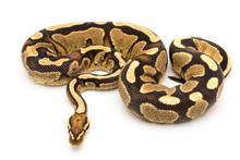 Ball Python Snake Reptile