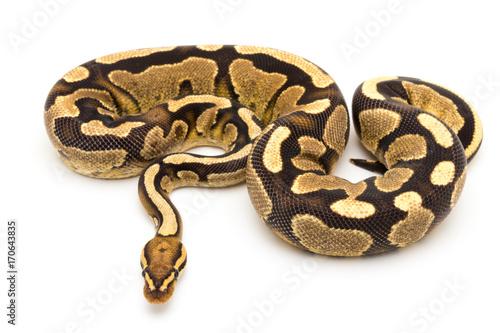 Fotografía  ball python snake reptile