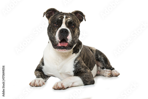 Valokuva  Old English Bulldog