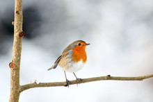 Perching European Red Robin