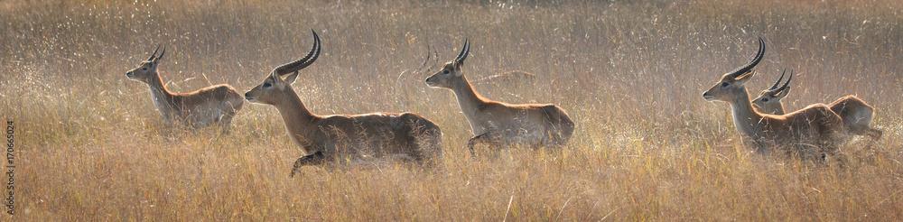 Fototapeta Red Lechwe Herd