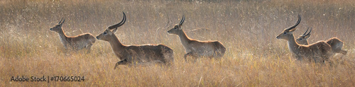 Photo Red Lechwe Herd