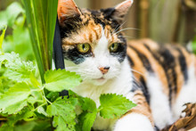 Closeup Of Calico Cat Lying In...