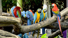 Scarlet Macaw And Blue And Gol...