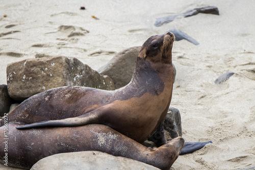 Adult Sea Lion on sand Poster
