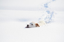 Jack Russell Dog Lost In Snow