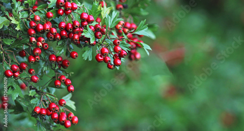 Canvas Print autumn, red hawthorn berries