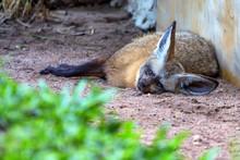 Tired Bat-eared Fox Or Otocyon...