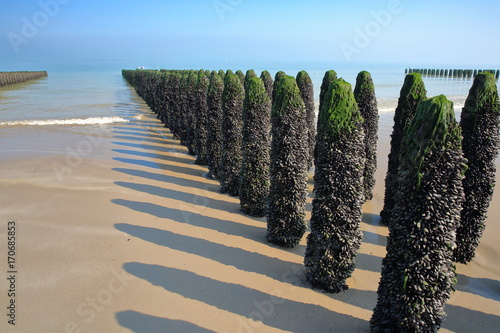 Obraz Mussels cultivated on poles (bouchots) on the beach near Cap Gris Nez, Cote d'Opale, Pas de Calais, Hauts de France, France - fototapety do salonu