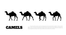 Detailed Black Silhouette Of Camel Caravan On White Background. African Animals