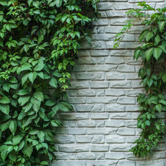FototapetaBrick wall or fence with wild grapes. Vintage brick wall with natural floral frame. Wild grape on the wall of an old building. Wild grapes on old brick wall as background.