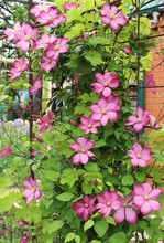 A Flowering Clematis Bush, Pur...
