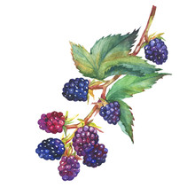 A Branch With Blackberry Fruit (Rubus Genus, Black Berries, Garden Blackberry) Realistic Botanical Illustration. Watercolor Hand Drawn Painting Illustration, Isolated On White Background.