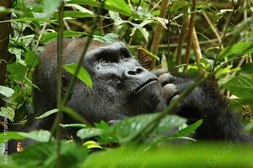 Eastern lowland gorilla in the darkness of african jungle, face to face in the nature habitat, great details, african wildlife, Gorilla gorilla gorilla Canvas Print