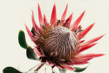 Pink King Protea On Cream Back...