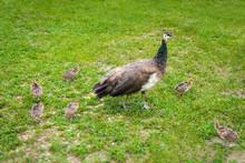 Peachicks And Peafowl Feeding ...