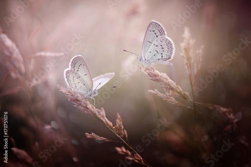 Plakat Dwa Śliczne Butterfly