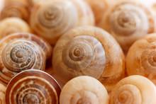 Spiral Snail Shells. Gastropod...