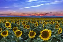 Sunset Over Sunflower Fields O...