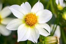 Beautiful White Dahlia Flower. Dahlia In The Garden