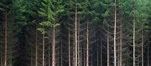 Dunkler Tannenwald Nach Einer Rodungsarbeit, Symbol Für Umweltschutz Und Nachhaltigkeit