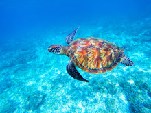 Green Sea Turtle In Shallow Se...